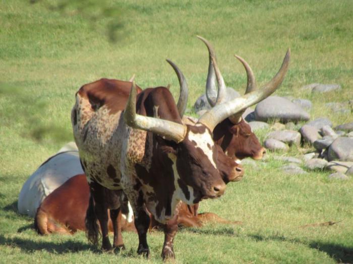 самый большой бык смотреть фото #13