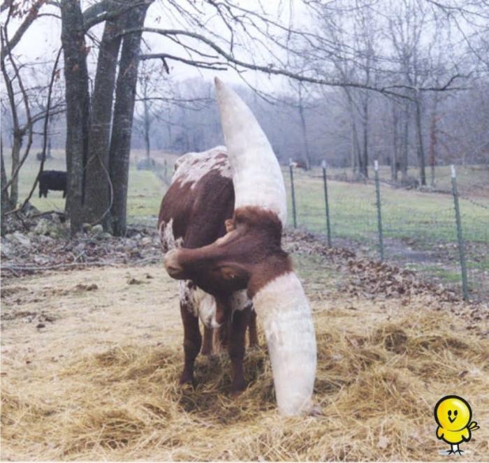 Самый большой бык в мире, вот это размерчик, ШОК!