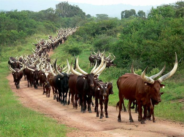 Триггер — самый большой бык в мире (фото)
