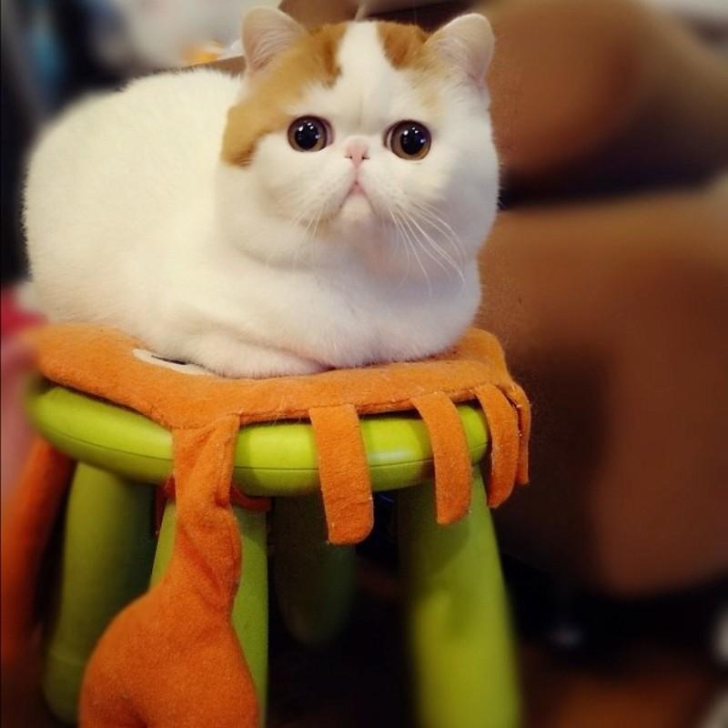 Его родители персидский кот и кошка