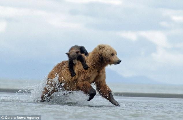 Медвежонок верхом на медведице