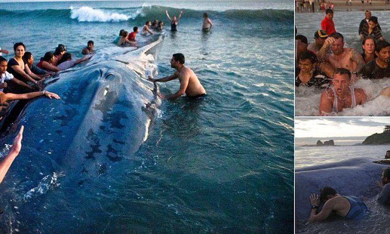 Более 50 человек пытались вернуть в море выбросившегося на берег кита