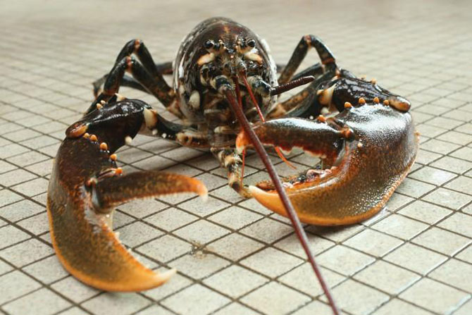 Спасение омаров